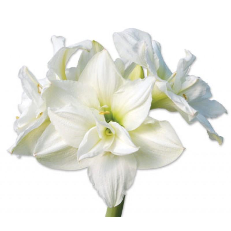Белые амариллисы поштучно