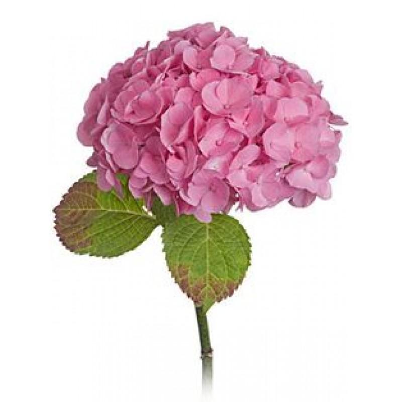 Розовая гортензия поштучно