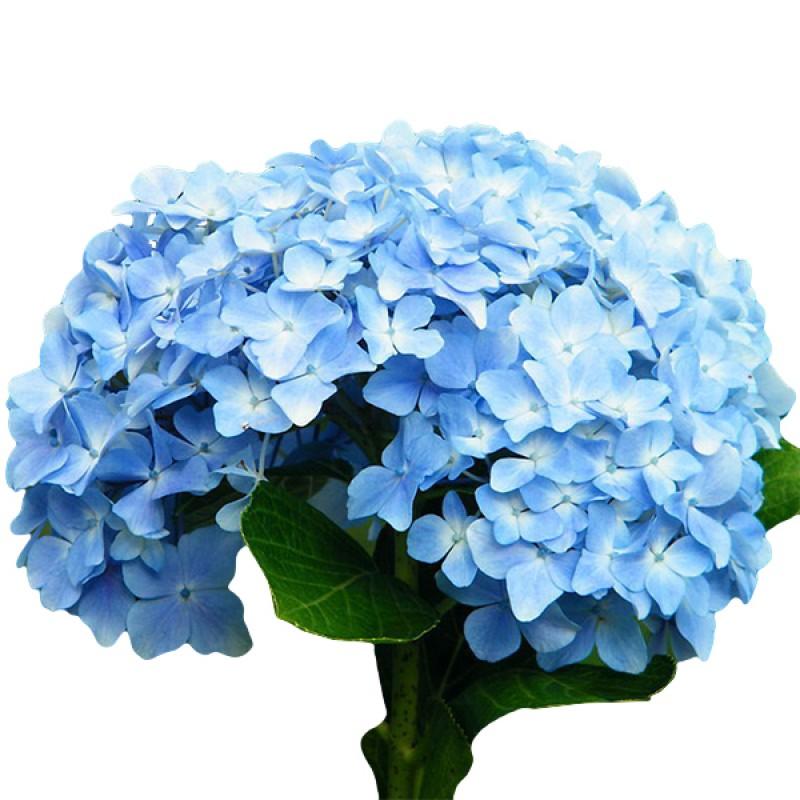 Голубая гортензия поштучно