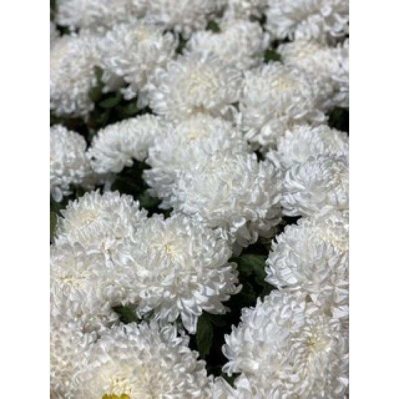 Белые шаровые хризантемы поштучно от 7 штук
