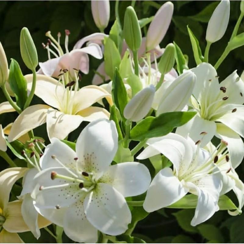 Белые лилии «восточные» с запахом от 5 штук