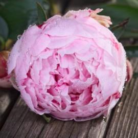 Розовые пионы поштучно от 9 штук