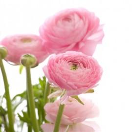 Акция! Розовые ранункулюсы от 19 штук.
