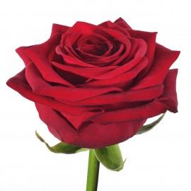 Розы Ред Наоми поштучно от 29 штук