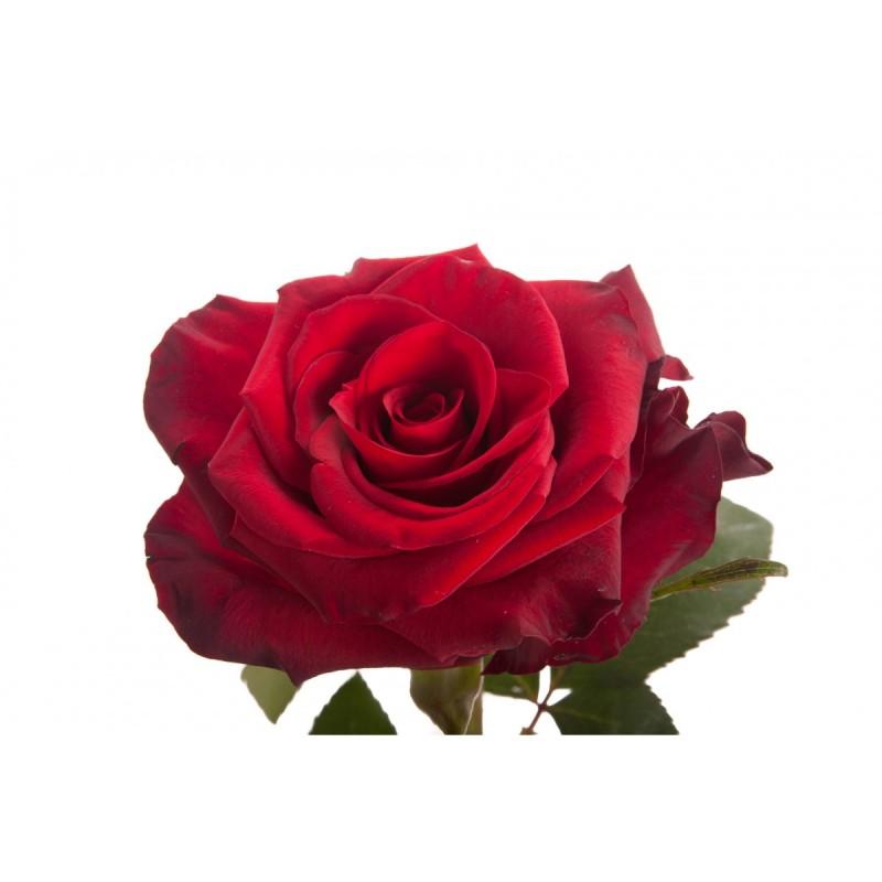 Розы Ред Париж поштучно от 25 штук