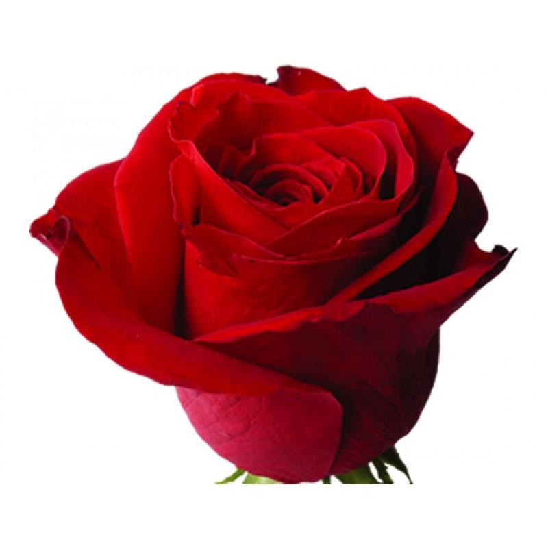 Розы Фридом поштучно от 25 штук, высота 80 см.