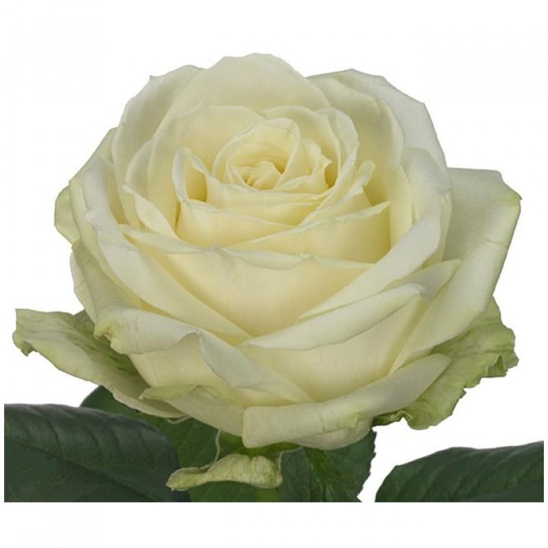 Розы Аваланж поштучно от 19 штук