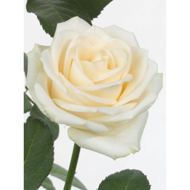 Розы Вендела поштучно от 25 штук