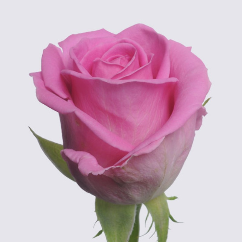 Розы Аква поштучно от 29 штук