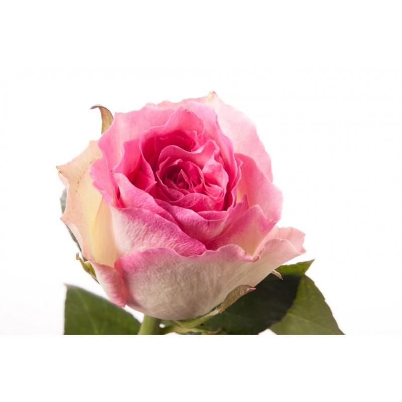 Розы Малибу поштучно от 25 штук