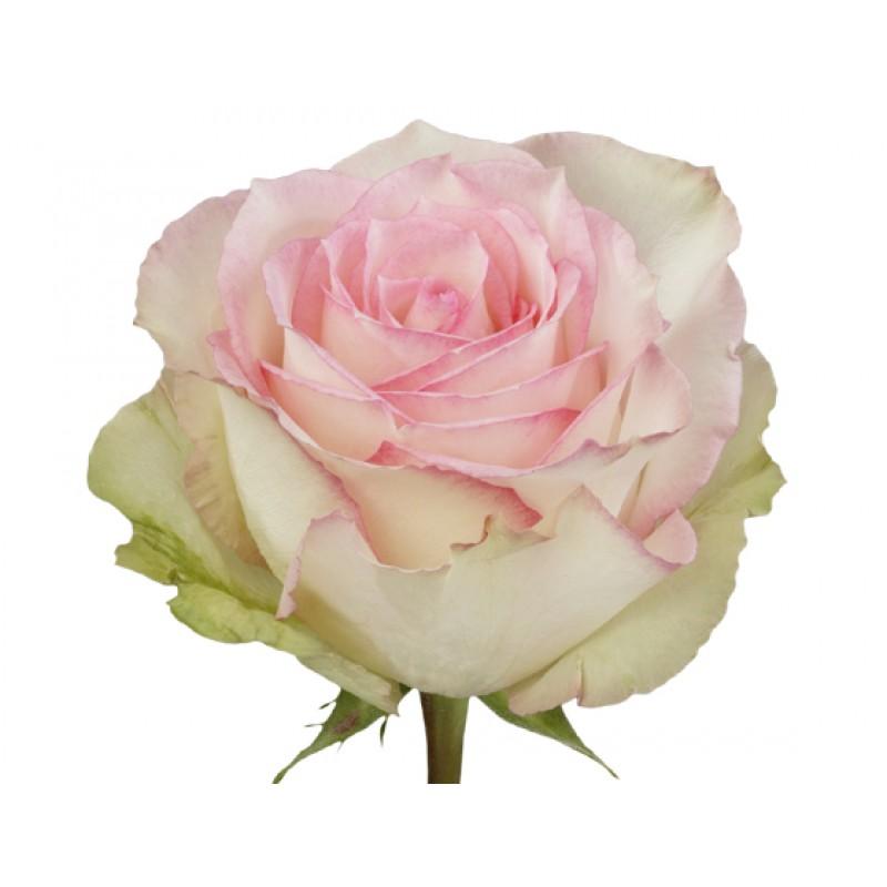 Розы Эсперанс поштучно от 25 штук