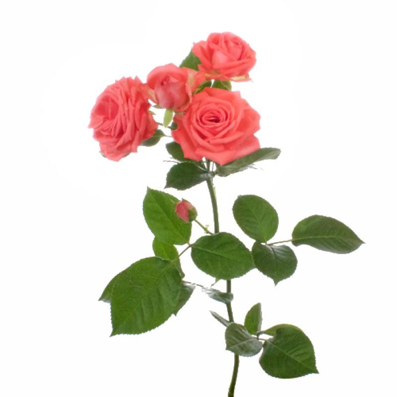 Розы Барбадос поштучно