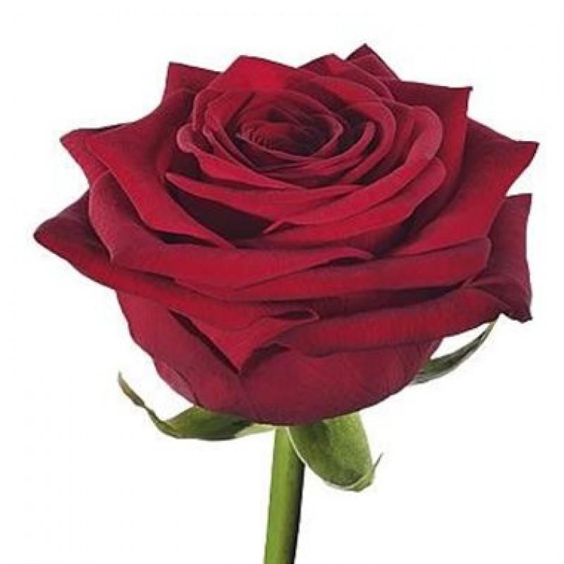 Розы Гран При поштучно от 19 штук