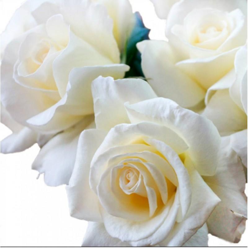 Розы Норма Джин