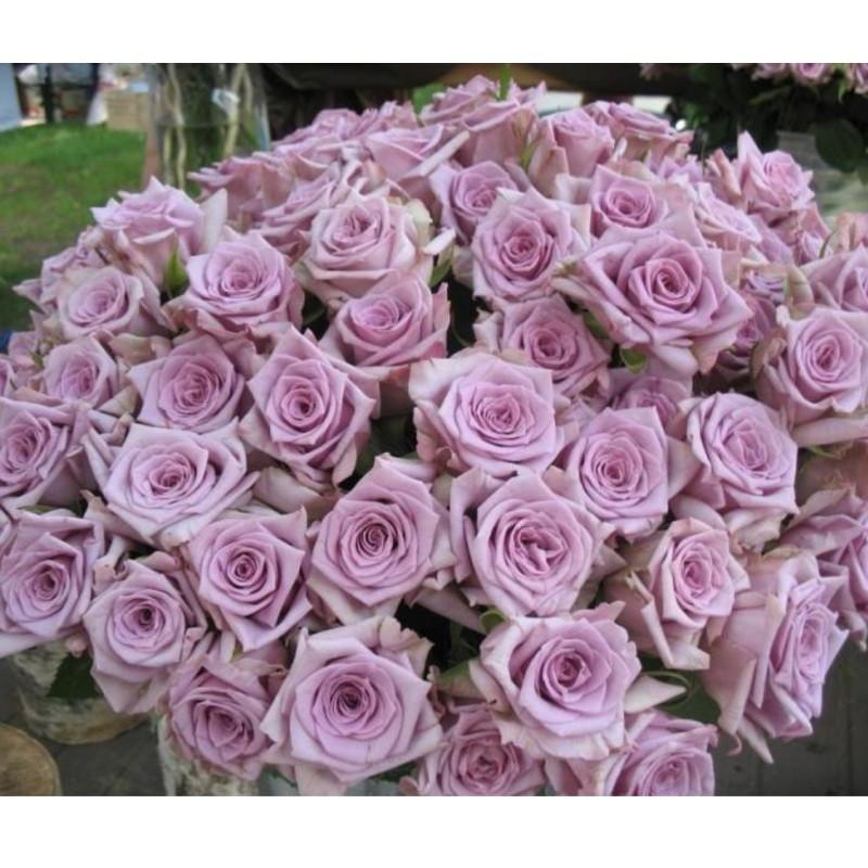 Розы Авангард