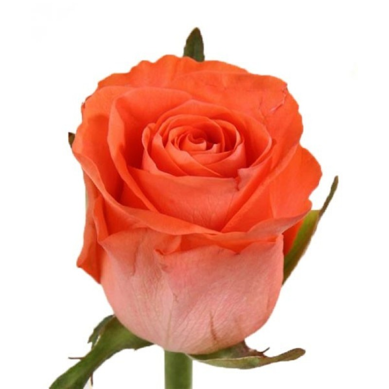 Оранжевые розы Wow поштучно