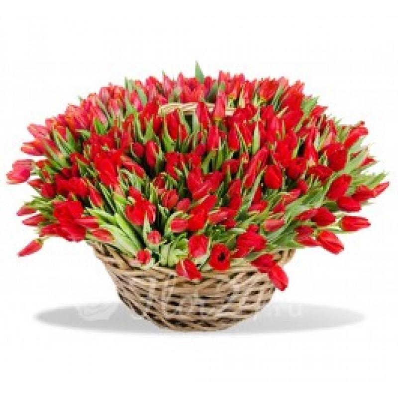 251 красный тюльпан